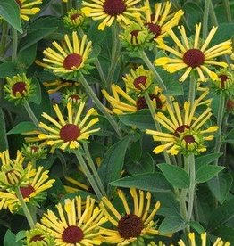 Rudbeckia subtomentosa Little Henry Black-Eyed Susan, Little Henry #1