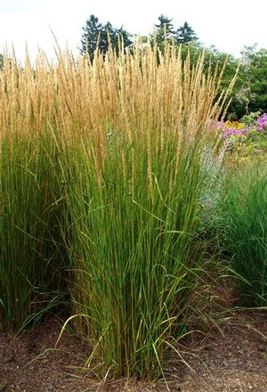 Calamagrostis Karl Foerster Grass - Ornamental Feather Reed, Karl Foerster, #1