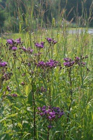 Vernonia noveboracensis Ironweed - New York, #1
