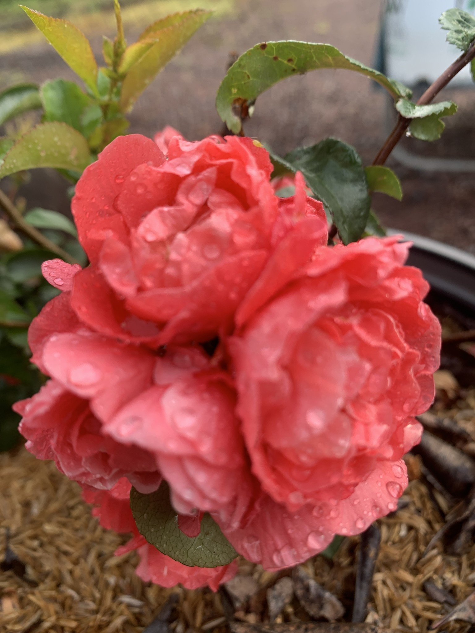 Chaenomeles spec. Pink Storm Quince, Double Take Pink Storm, #3