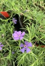 Phlox sub. Rocky Road violet blue Phlox - Creeping, Violet Blue, #1