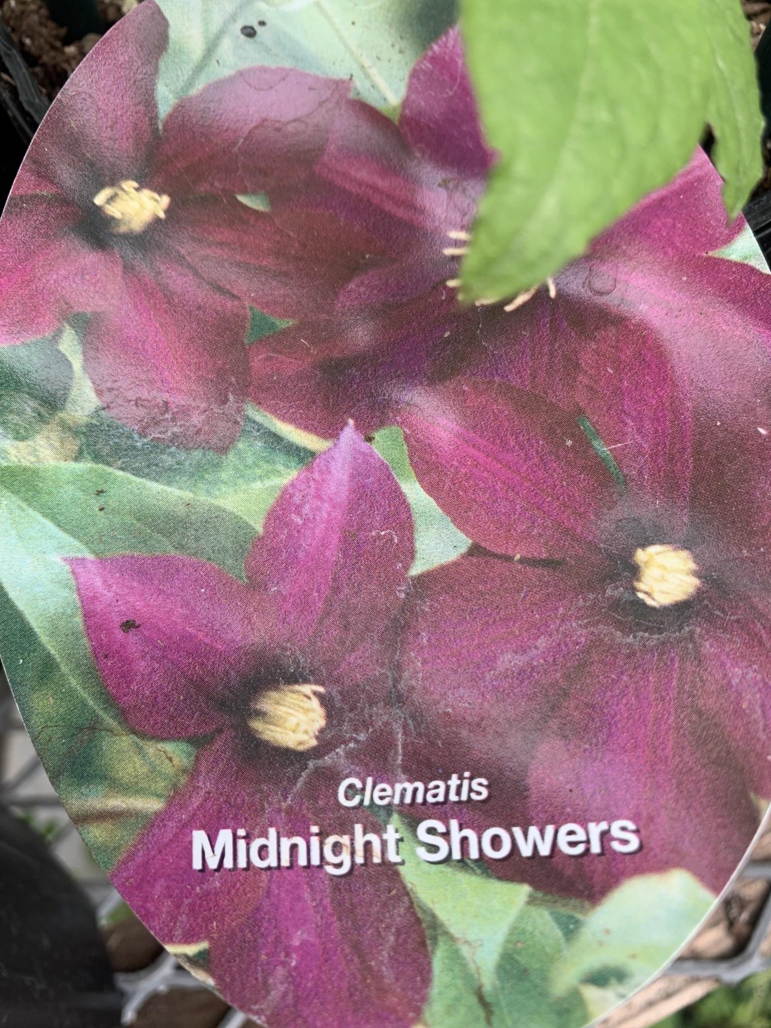 Clematis Midnight Showers, Clematis,  #1