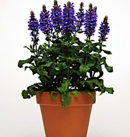 Salvia Blue Marvel, Sage #1