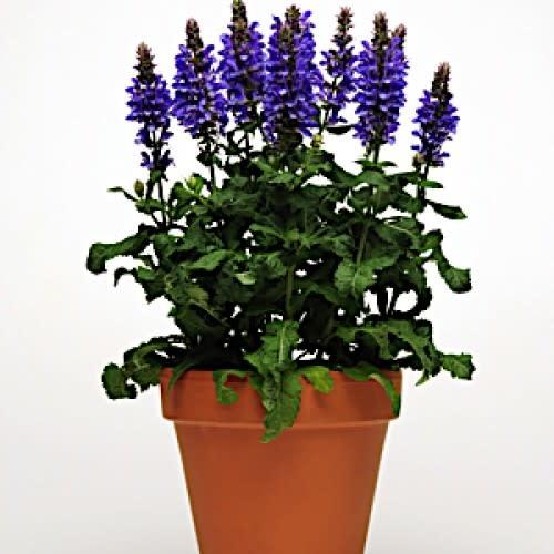 Salvia Blue Marvel, Sage #1