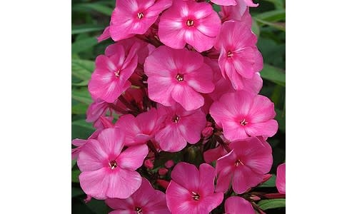Phlox paniculata Candy Store¨ 'Bubblegum Pink', #1 container