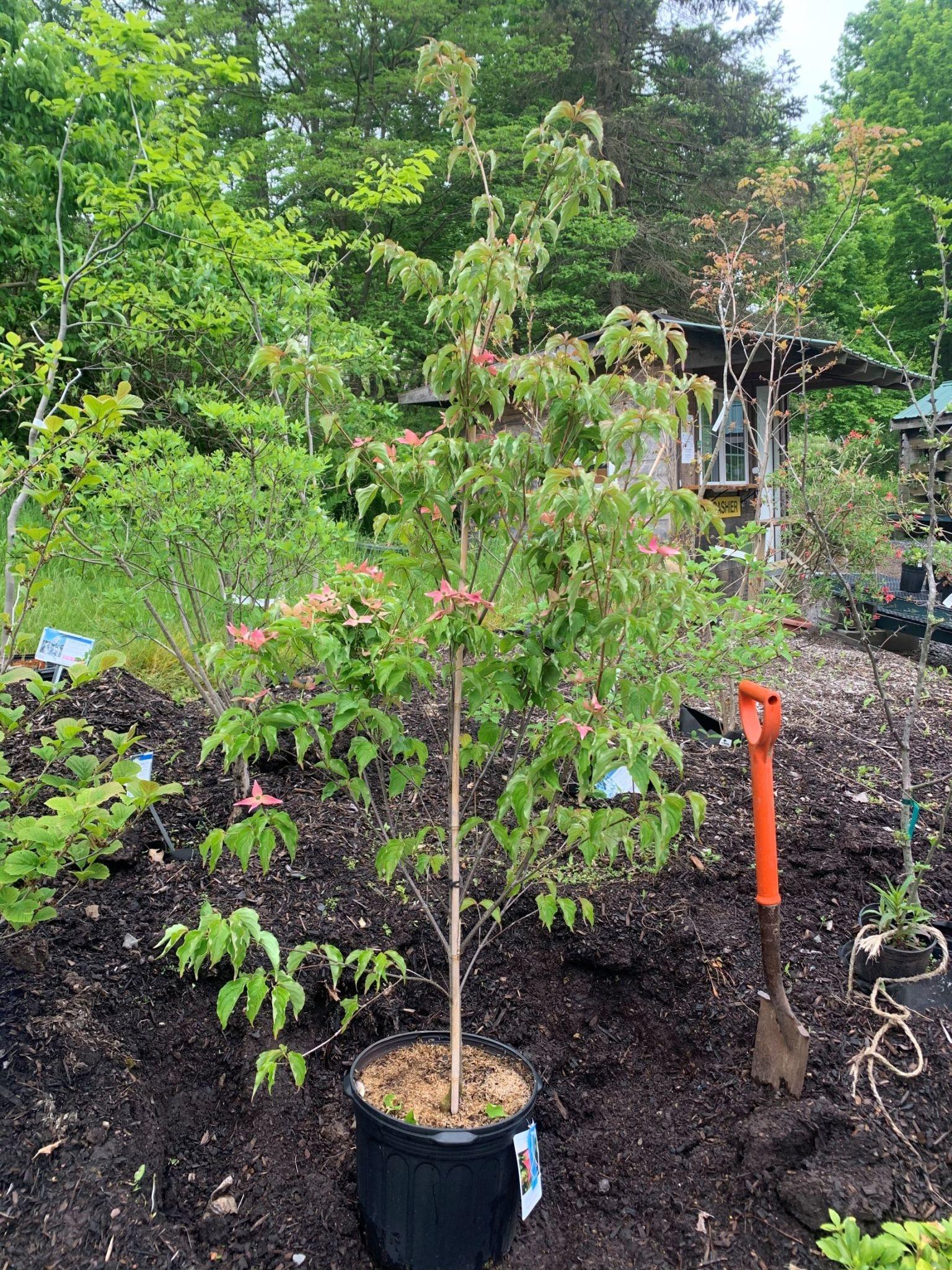 Cornus kousa Scarlet Fire Dogwood #7