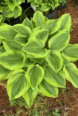 Hosta Golden Tiara Plantain Lily, Golden Tiara, #1