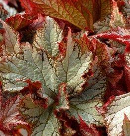 Begonia NAUTILUS™ Moonlit, Quart pot Organic