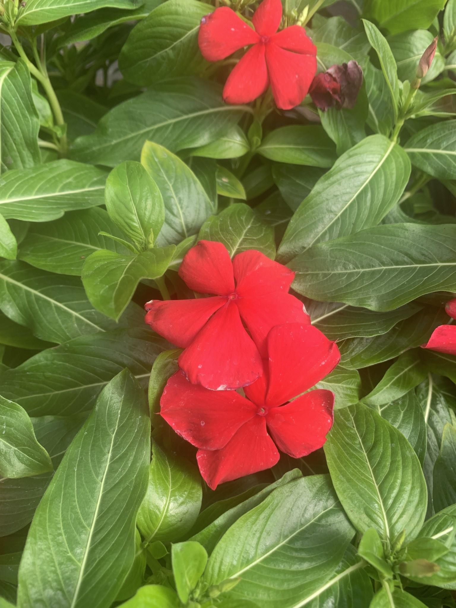 "Vinca Rosea,Red, 4.5"" pot"