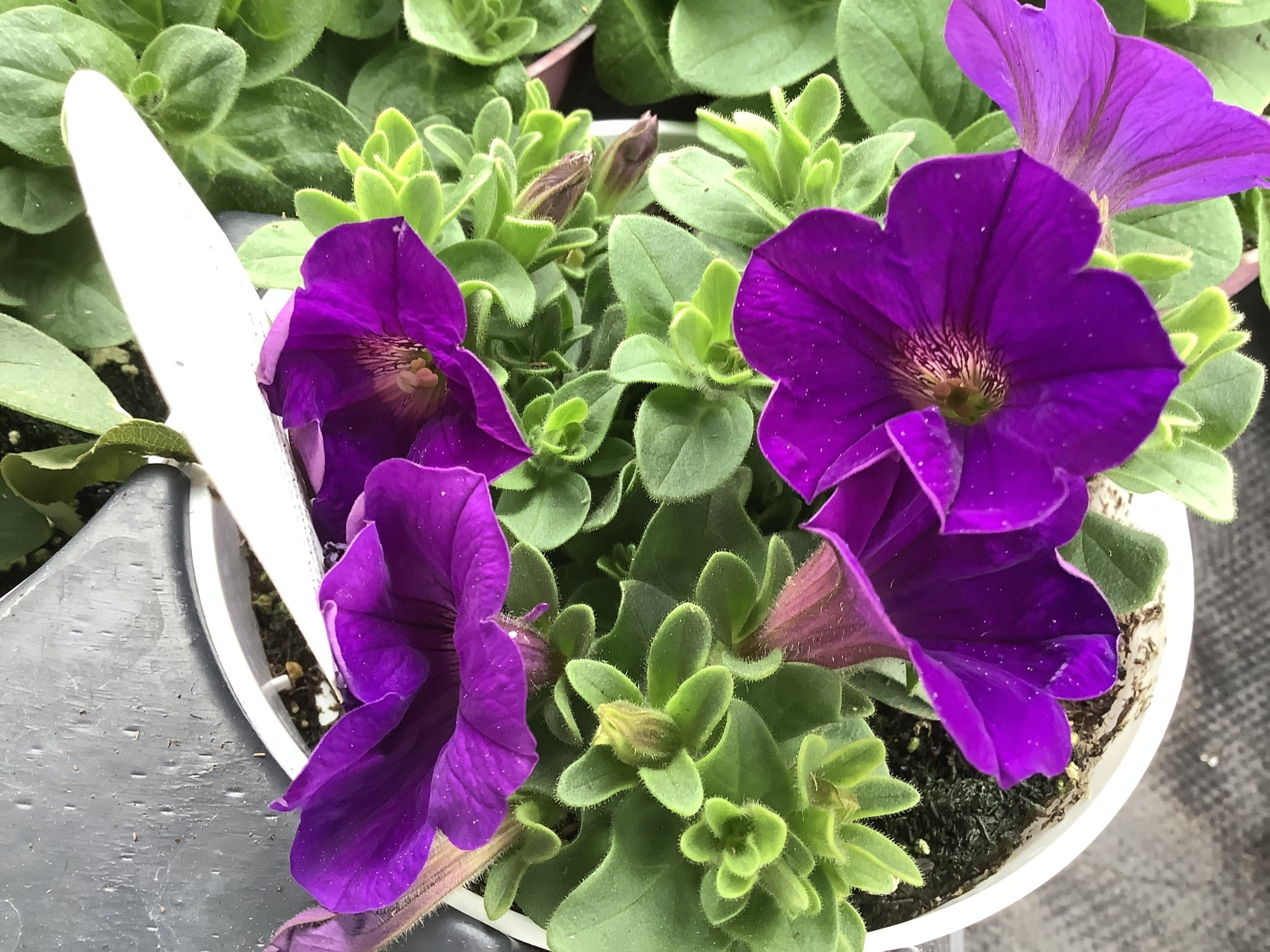 "Petunia, Proven Winners Supertunia Royal Velvet 4.5"" Pot"