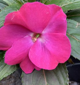 "Impatiens, New Guinea Harmony Dark pink, 4.5"" pot"