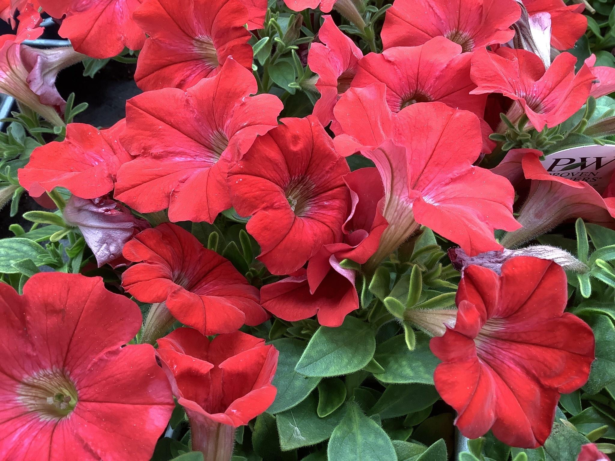 "Petunias, Proven Winners Supertunia Red 4.5"" Pot"