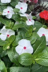 "Vinca Rosea, White Peppermint/Polka Dot, 4.5"" pot"
