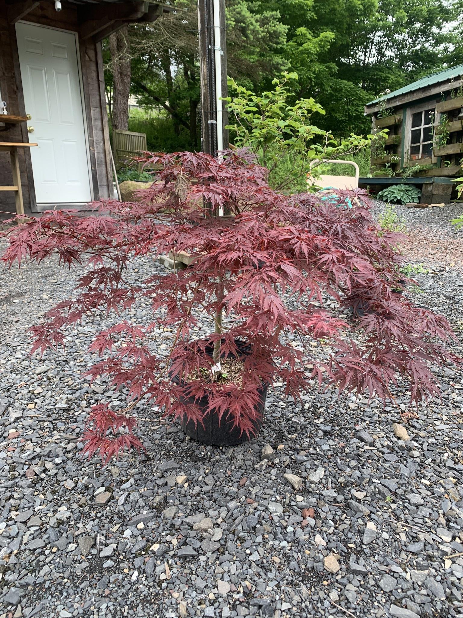 Acer palm. di. Tamyukeyama Maple - Japanese Threadleaf, Tamyukeyama
