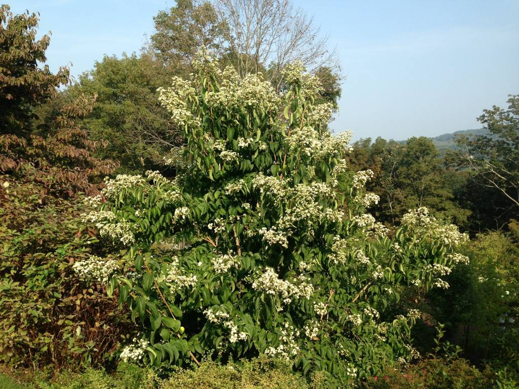 Heptacodium miconioides Seven-Son Flower, #3