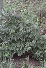 Native Shrub Ilex vert. Holly - Winterberry, #3