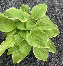 Hosta Fragrant Bouquet, Plantain Lily, #1
