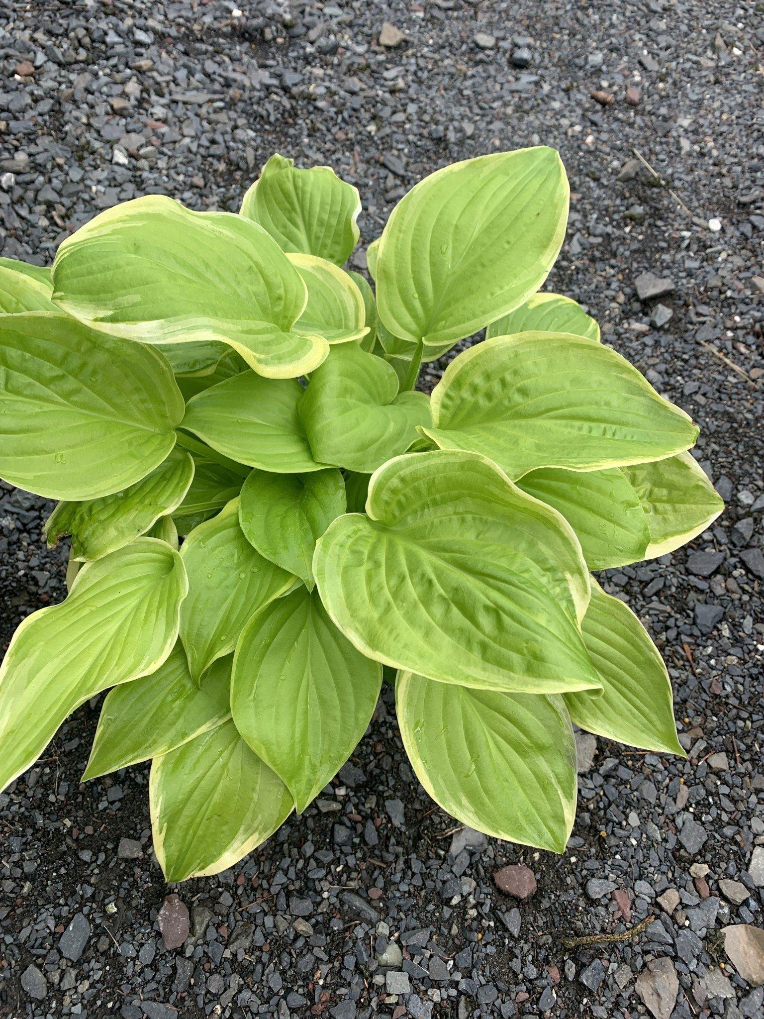 Hosta Fragrant Bouquet, Plantain Lily, #1