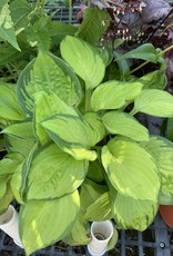 Hosta Rainforest Sunrise, Plantain Lily, #1