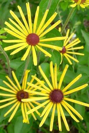 Rudbeckia subtomentosa 'Henry Eilers' sweet coneflower or sweet black-eyed Susan #1 Container