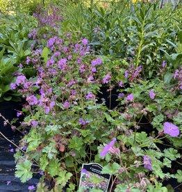 Geranium Cantabrigiense Karmina, #1
