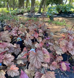 Heuchera carnival Watermelon Coral Bells, #1