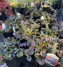 Ajuga reptans Black Scallop, Carpet Bugle #1 Container