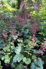 New Heuchera Paris, Coral Bells, #1
