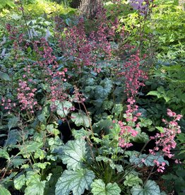 Heuchera Paris, Coral Bells, #1