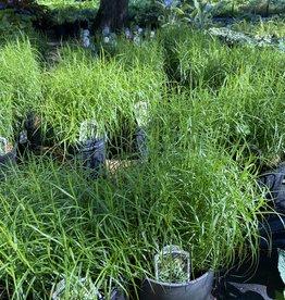 Carex musk. Little Midge Grass - Ornamental Sedge, Little Midge, #1