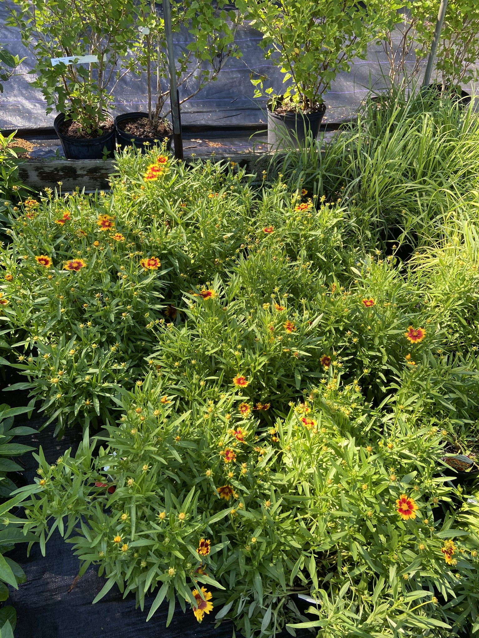 Coreopsis UpTick Gold + Bronze Tickseed, UpTick Gold + Bronze, #1