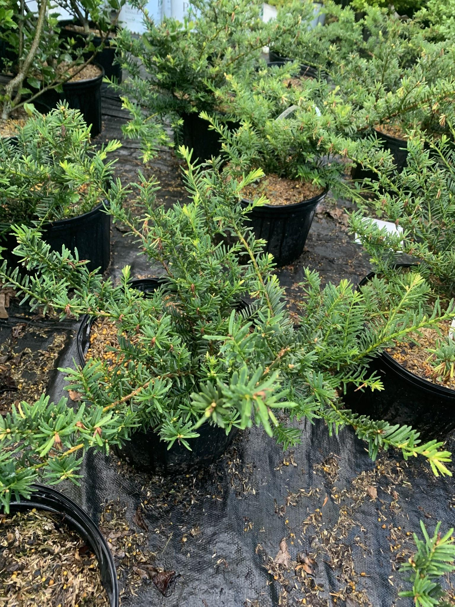 Taxus x media Everlow Yew - English-Japanese, Everlow, #3