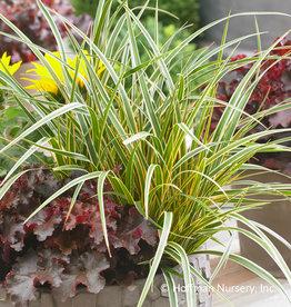 Carex osh. Everglow Grass - Ornamental Evercolor Sedge, #1