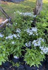 New Phlox pan. Fashionably Early Crystal, Phlox - Garden, #1
