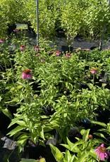Echinacea pur. Kim's Knee High Coneflower, Kim's Knee High, #1