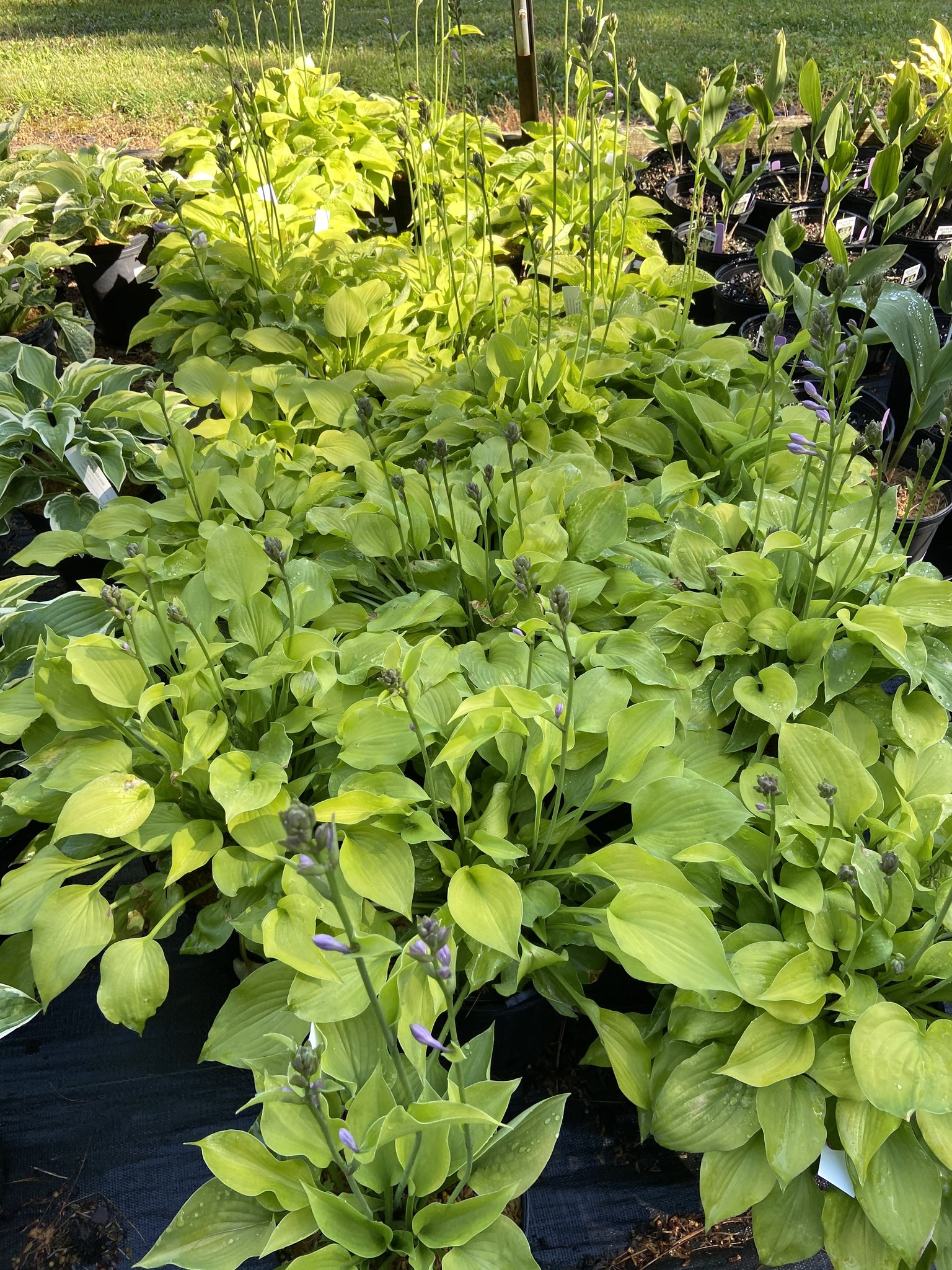 Hosta Gold Drop Plantain Lily, Gold Drop, #1