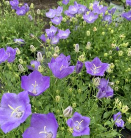 Campanula Rapido Blue, Bellflower,#1