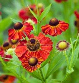 Helenium autumnale Moerheim Beauty Sneezeweed, #1