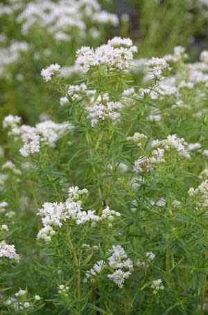Pycnanthemum virginianum, American Mountain Mint, #1