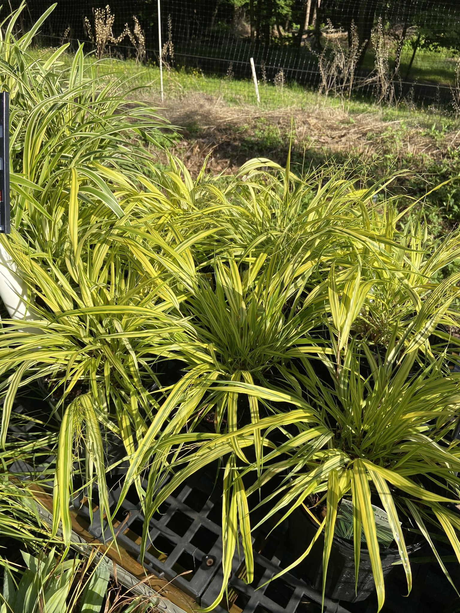 Hakonechloa mac. Aureola Grass - Ornamental Hakone, Aureola, #1