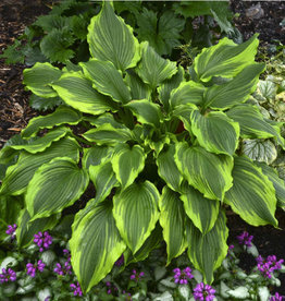Hosta One Last Dance, #1