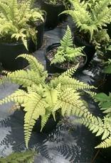 Athyrium otophorum, limelight lady fern, #1