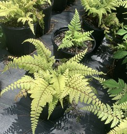 Athyrium otophorum, limelight lady fern, #1