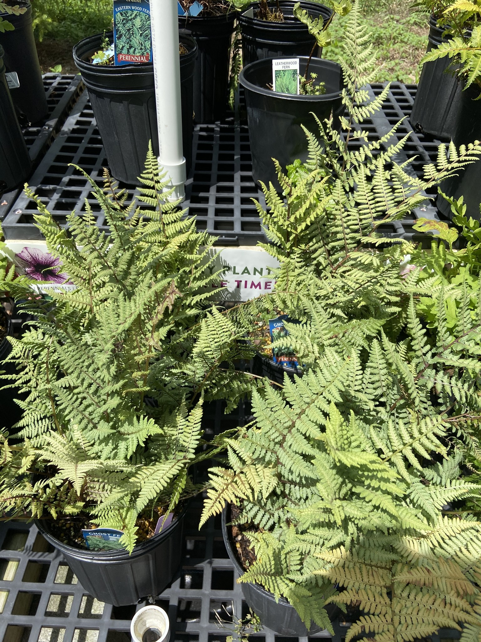 Athyrium x Ghost Fern - Lady, Ghost, #1
