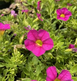 "Calibrachoa Pink, 4.5"" pot"