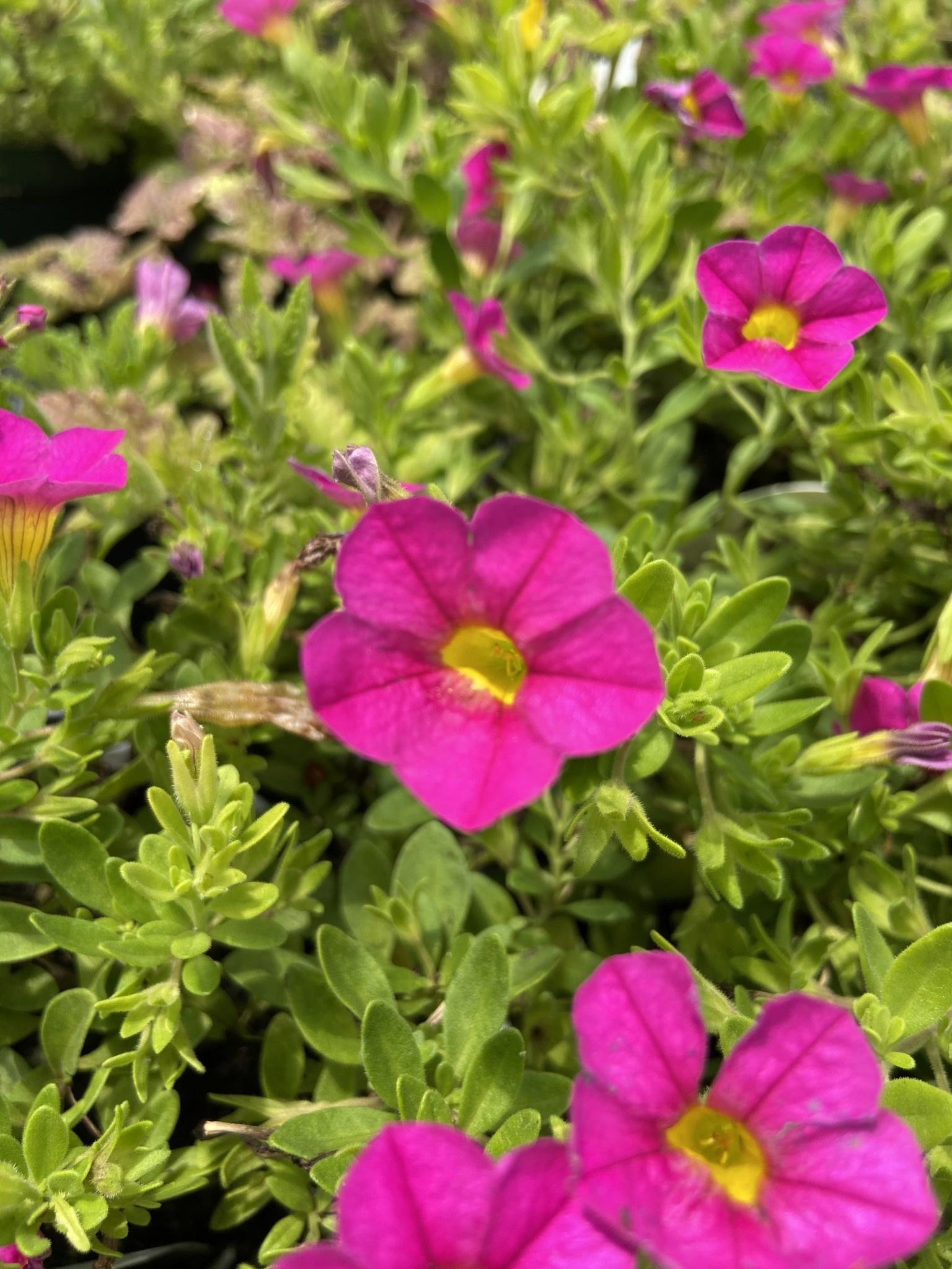 """Calibrachoa Pink, 4.5"""" pot"""