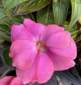 "Impatiens, New Guinea Harmony Perfect pink, 4.5"" pot"