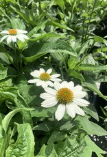 Echinacea pur. Pow Wow White Coneflower, Pow Wow White, #1