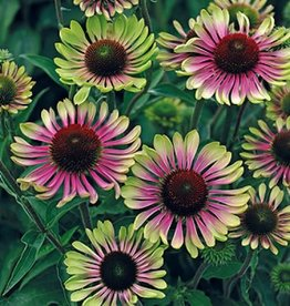Echinacea pur. Green Twister, Coneflower, Green Twister, #1