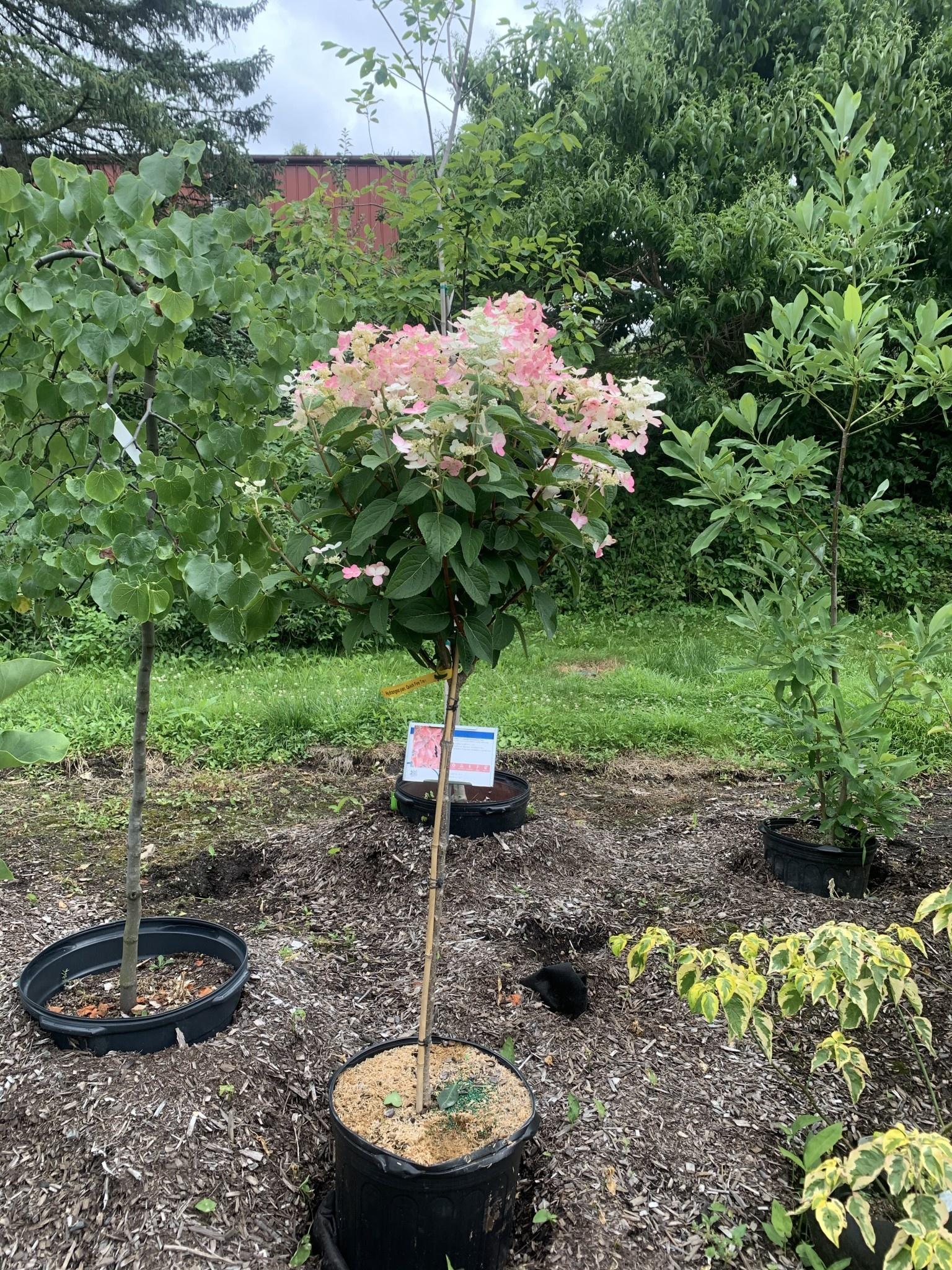 Hydrangea panic. Bulk Hydrangea - Hardy, Quick Fire Treeform, #10